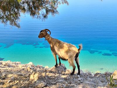Ziege am Meer von Kalymnos